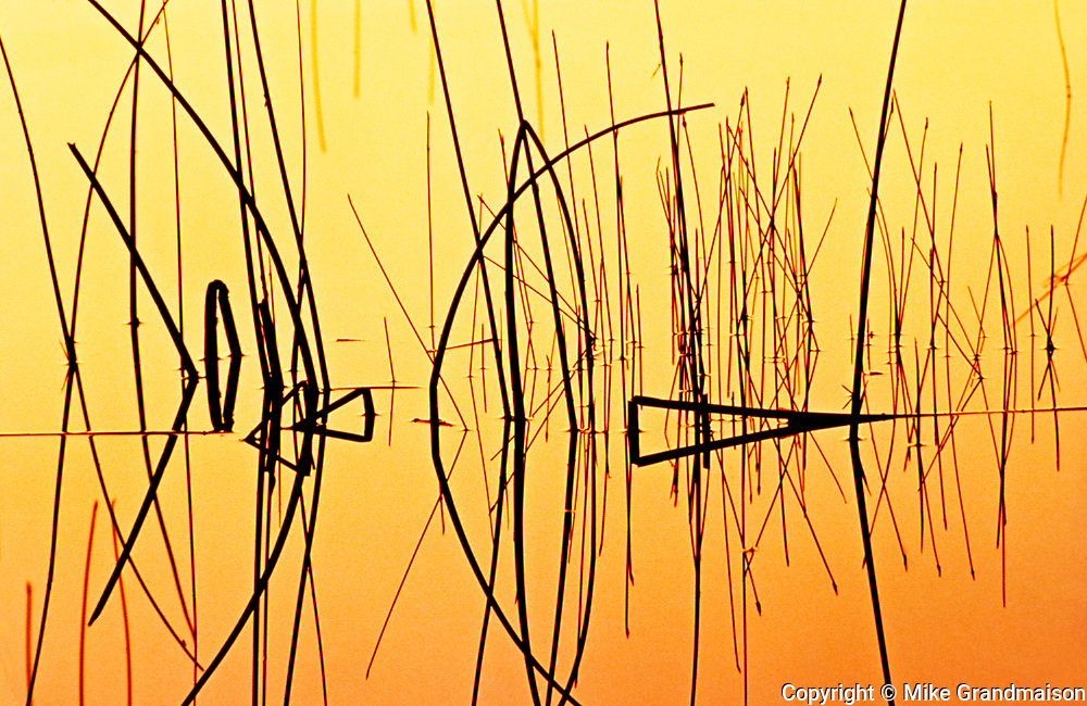 Reeds at sunset on Child's Lake<br />Duck Mountain Provincial Park<br />Manitoba<br />Canada