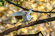 A White Tern (Gygis alba) spreads its wings out whilst perched on a tree branch, Midway Atoll National Wildlife Refuge.