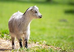 THEMENBILD - eine Ziege (Capra) im Wildpark Ferleiten, aufgenommen am 29. April 2018 in Taxenbacher-Fusch, Österreich // a goat at the Wildlife Park, Taxenbacher-Fusch, Austria on 2018/04/29. EXPA Pictures © 2018, PhotoCredit: EXPA/ Stefanie Oberhauser