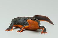 Rough-skinned newt, Taricha granulosa.  Mendocino County, California