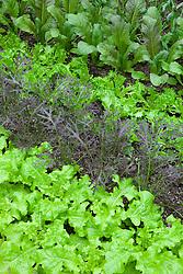 Salad leaves growing in rows. Lettuce 'Cos Rubens', 'Black Seeded Simpson', 'Cos Freckles' and Mustard 'Golden Streaks'