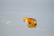 Winter red fox in Yellowstone National Park