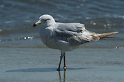 Ring-billed Gull (Larus delawarensis)<br /> Little St Simon's Island, Barrier Islands, Georgia<br /> USA<br /> HABITAT & RANGE: Near lakes, rivers and coasts of Canada & North America
