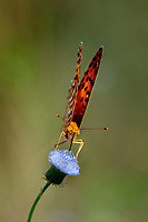 Common Leopard. or Spotted rustic butterfly, Phalanta phalantha, sitting on a blue blooming thistle. this a sun-loving butterfly of the Nymphalidae or brush-footed butterfly family. Wuliangshan Nature Reserve, in Jingdong county, Yunnan Province, China.
