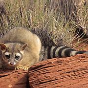 Ringtail, (Bassariscus astutus) Adult in red rock country,. Utah.  Captive Animal.