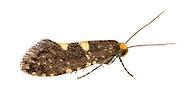 09.003 (0136)<br /> Raspberry Moth - Lampronia corticella