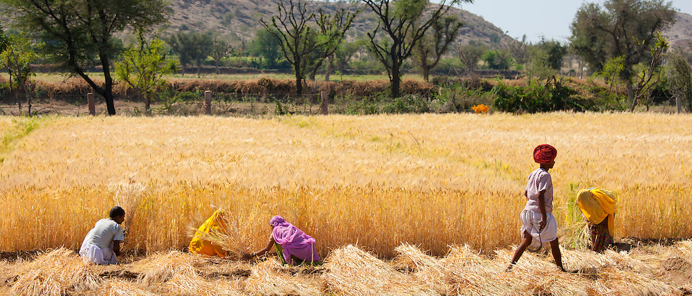Barley crop harvested by local agricultural workers and the farmer wearing turban in fields at Nimaj, Rajasthan, India