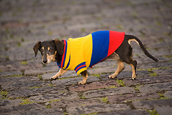 South America, Ecuador, Pichincha province, Quito. Dachshund dog walking on cobblestones in sweater made of colors of the national flag of Ecuador.