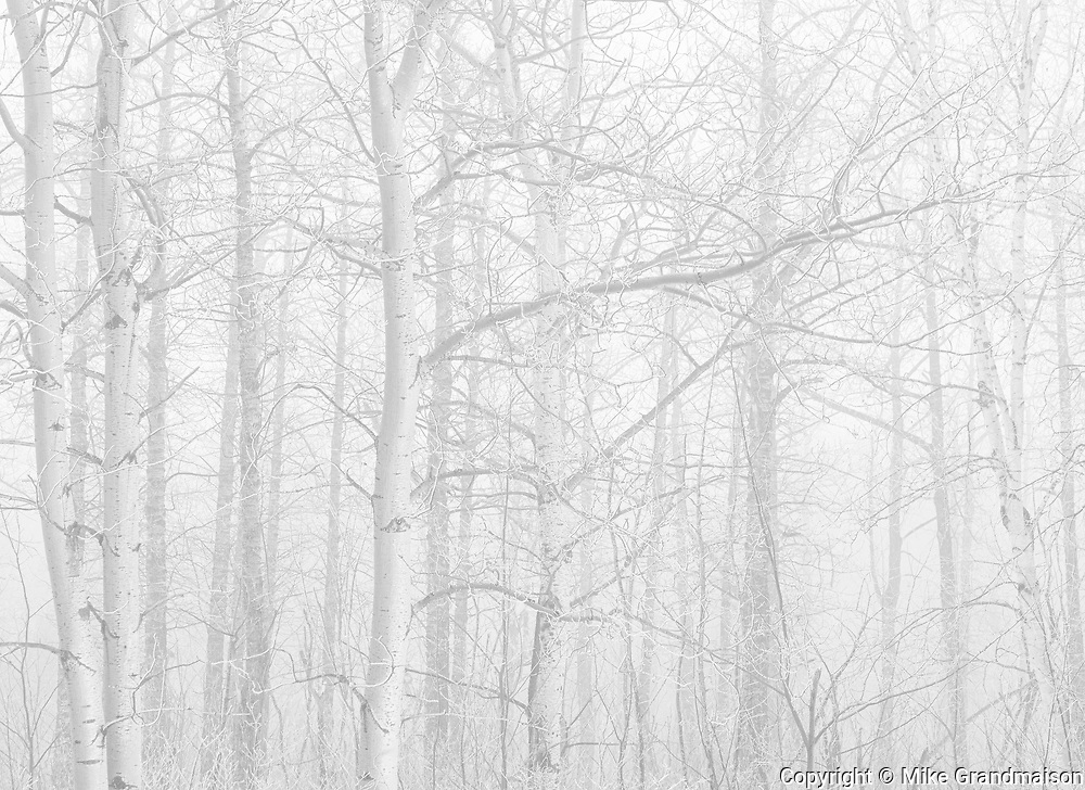 Trembling aspen trees in fog<br />Riding Mountain National Park<br />Manitoba<br />Canada