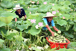 Aug. 1, 2018 - Tancheng, China - Elderly Farmers collect lotus seedpods in Tancheng County of Linyi City, east China's Shandong Province. (Credit Image: © Fang Dehua/Xinhua via ZUMA Wire)
