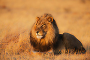 A dominant male African lion (Leo Panthera) laying down in warm evening light, Chobe National Park, Botswana, Africa