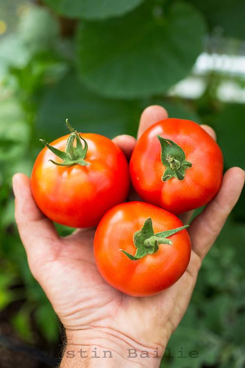Garden grown tomatoes.