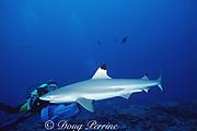 diver views blacktip reef shark or blackfin reef shark, Carcharhinus melanopterus, Moorea, French Polynesia ( South Pacific Ocean )