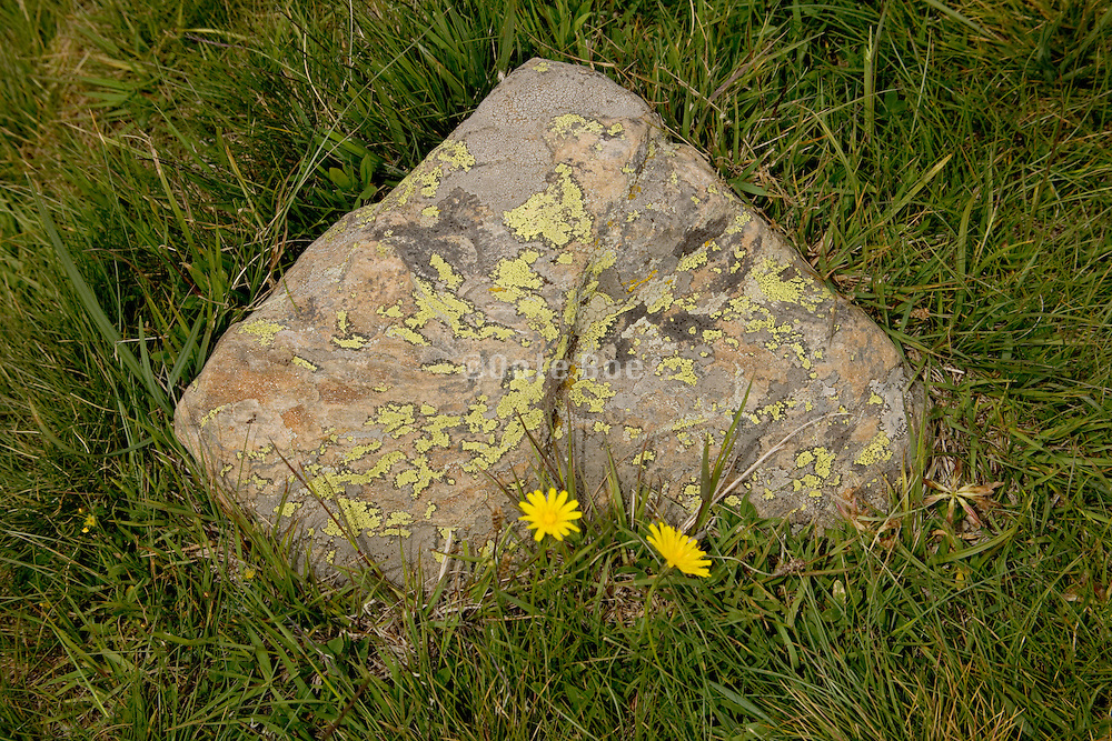 stone with green moss and two yellow flowers growing in front surrounded by grass