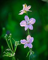 Pale Lavender Larkspur (delphinium). Image taken with a Nikon N1V3 camera and 70-300 mm VR lens