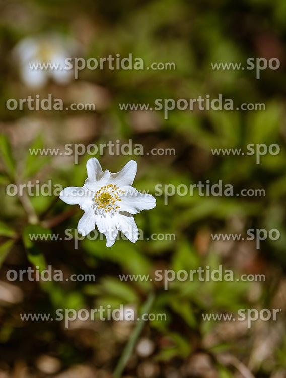 THEMENBILD - Buschwindröschen (Anemone nemorosa) blühen meistens im März und April und sind eine Pflanzenart aus der Gattung der Windröschen (Anemone). Alle Pflanzenteile sind giftig, aufgenommen am 19. April 2019, Kaprun, Österreich // Anemone nemorosa usually blooms in March and April and is a plant species of the anemone genus. All parts of the plant are poisonous on 2019/04/19, Kaprun, Austria. EXPA Pictures © 2019, PhotoCredit: EXPA/ Stefanie Oberhauser