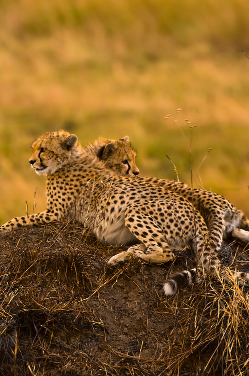 Cheetahs on mound, Masai Mara National Reserve, Kenya