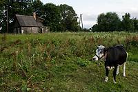 Wies Moscicha, woj podlaskie, 03.07.2019. N/z Pasace sie krowy na tle opuszczonego drewnianego domu fot Michal Kosc / AGENCJA WSCHOD