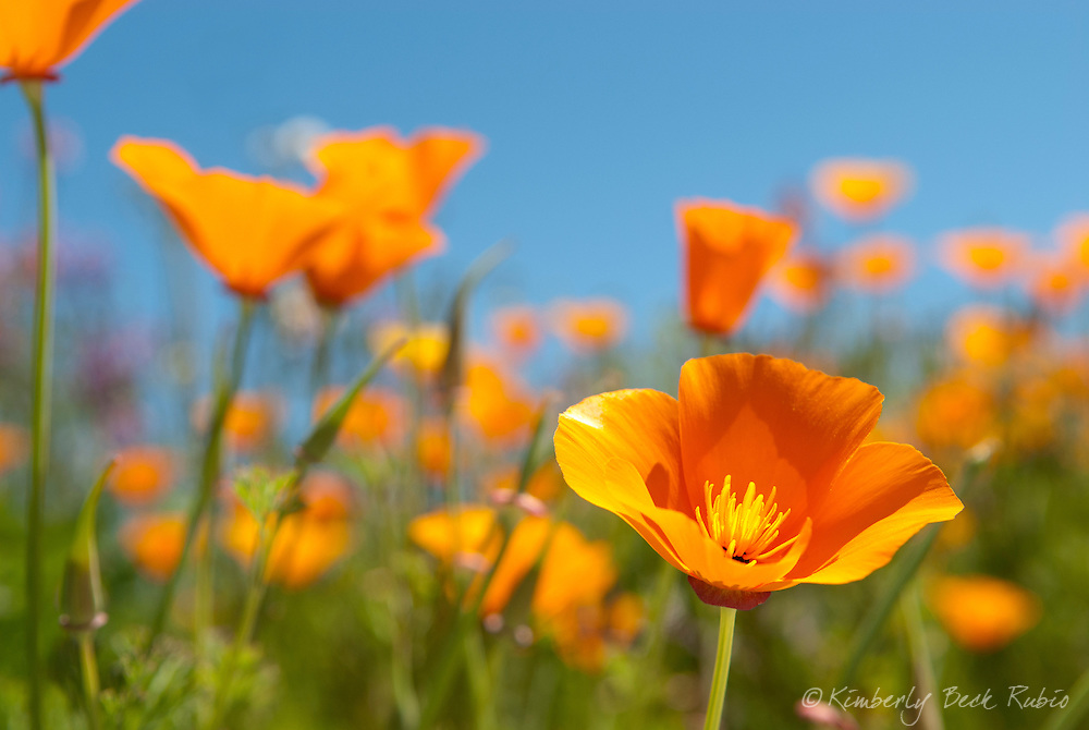 Beautiful California Golden P<br /> oppies, California's state flower (Eschscholzia californica), on a sunny spring day.