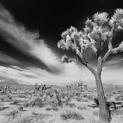 Joshua Tree Wide Sky Streaking Clouds - Joshua Tree National Park CA - Infrared Black & White