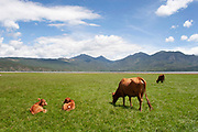 Under a clear blue sky cows and calves graze the lush green grass pasture by a lake in the shadow of mountains in Lashihai near to Lijiang, Yunnan, China.
