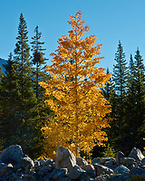 Solitary Glowing Aspen. Autumn in Colorado. Image taken with a Nikon 1 V2 camera and 32 mm f/1.2 lens (ISO 160, 32 mm, f/11, 1/100 sec).