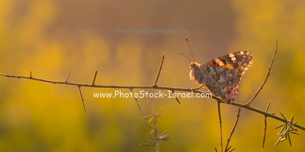 Painted lady (Vanessa cardui) butterfly feeding. This butterfly is found in Europe, northern Africa, and western Asia. Photographed in Israel, in March