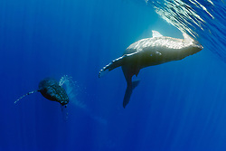 humpback whales, Megaptera novaeangliae, courtship behavior - male approaches female while blowing bubbles aggressively, Hawaii, Pacific Ocean