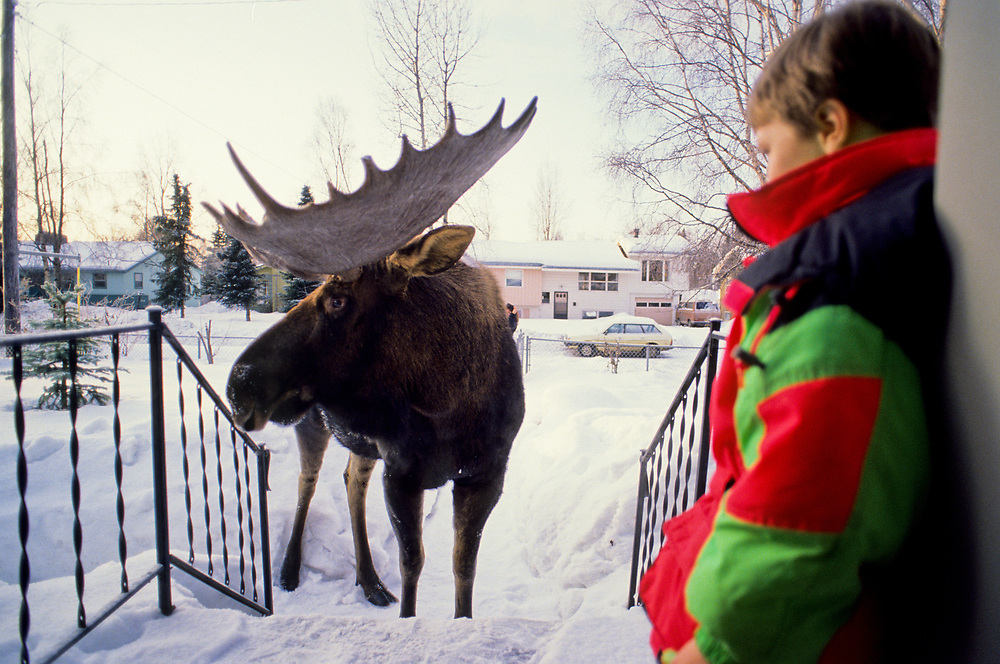 Alaska. Anchorage. Aaron Schmid-Royall, 6, watches a  bull moose (Alces gigas) from his front porch. Urban moose commonly wander around the city eating ornamanental plants and landscaping. Winter.