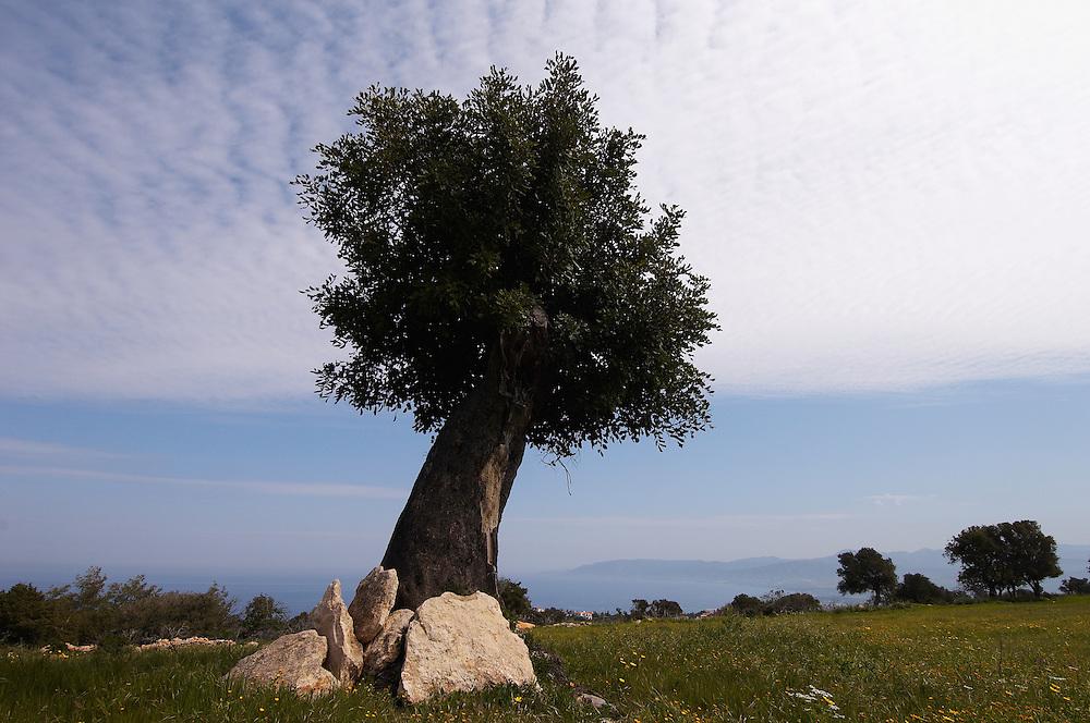 An old Olive tree (Olea europaea), Lachi, Cyprus