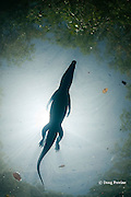 silhouette of Morelet's crocodile, Central American crocodile, or Belize crocodile, Crocodylus moreletii,  swimming on surface in cenote, or freshwater spring, near Tulum, Yucatan Peninsula, Mexico