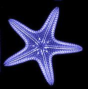 Starfish. X-ray of a starfish (phylum: Echino- dermata)