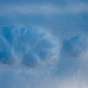 Wolf and coyote tracks in the Hayden Valley of Yellowstone in winter snow.