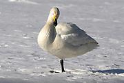Whooper swan, Cygnus cygnus, standing on one leg resting on ice, lake Kussharo-ko, Hokkaido Island, Japan, japanese, Asian, wilderness, wild, untamed, ornithology, snow, graceful, majestic, aquatic.