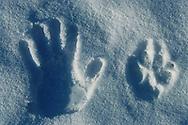 Wolf track and hand track, Varmland, Sweden.
