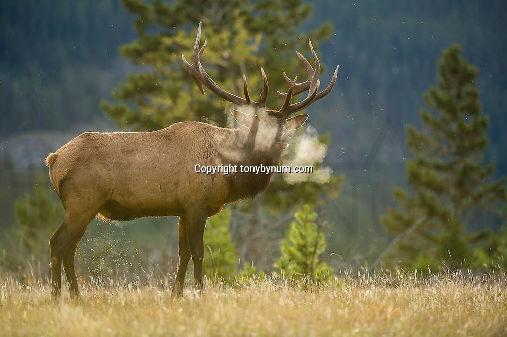 bull elk bugling with steam coming from mouth backlit