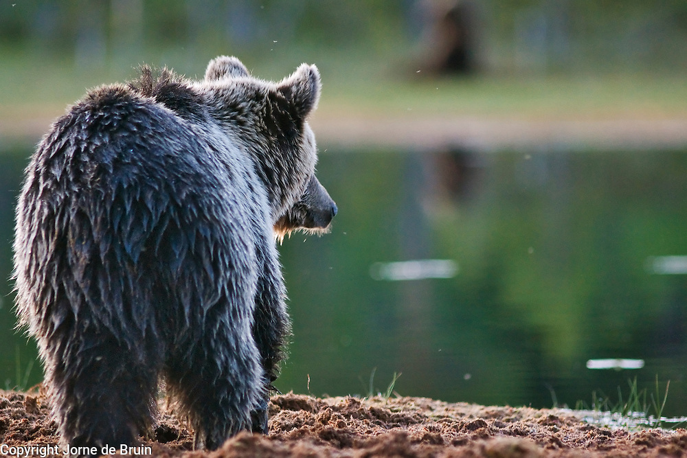 An Eurasian Brown Bear stands at the edge of a lake looking into the forest in Finland.