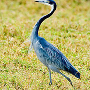 A Black-headed Heron (Ardea melanocephala) in Ngorngoro National Park, Tanzania.