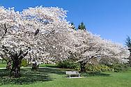 A memorial bench beneath a flowering cherry tree at Queen Elizabeth Park in Vancouver, British Columbia, Canada