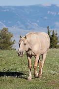 Wild mustang band stallion in Montana