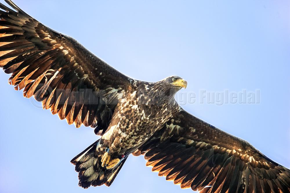 Uncropped picture of White-tailed Eagle floating in the air | Ukroppet bilde av Havørn som svever i luften.