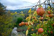 Pomegranate (Punica granatum), island of Korcula, Croatia