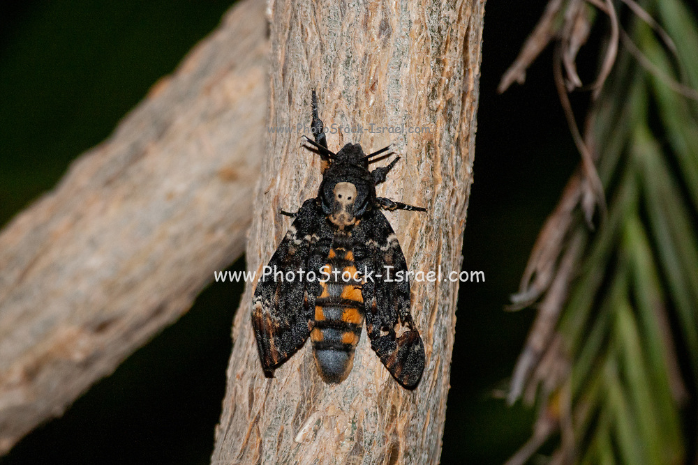 Acherontia atropos, the (African) death's-head hawkmoth, eath's-head hawk moths are large, ranging from 3.5 to 5 inches (80-120 mm) as adults.The upper wings are dark, creating a stark contrast between them and the lower wings, which range from a bright yellow to a light cream, yellow being the more common. Photographed in Israel in May