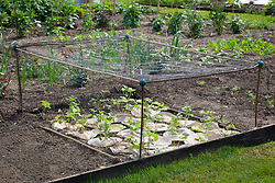 Protecting young strawberry plants from birds with netting structure and from weeds and slugs and snails with weed suppressing fabric mats