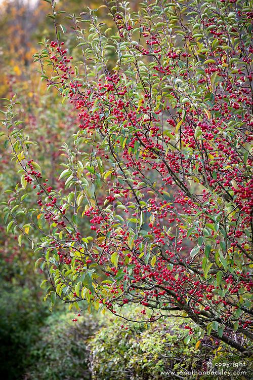 Malus 'Dartmouth' berries syn. Malus pumila 'Dartmouth' - Crab apple.