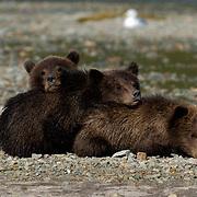 Alaskan Brown Bear (Ursus middendorffi) Three cubs resting together.Katmai National Park. Alaska.