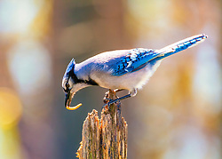 A Blue Jay perched atop a stump looking down with a mealworm in its mouth