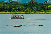 Hippos in the Nile River, Murchison Falls National Park, Uganda.
