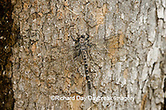 06340-001.01 Gray Petaltail (Tachopteryx thoreyi) perched on tree, Ripley Co.  MO