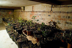 Dahlia and canna tubers stored in cellar at Great Dixter